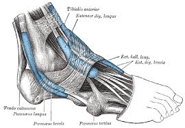 Best foot Forward, Reduce Foot Pain by Manually working these Extensors of the Feet